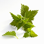 Fresh nettle leaves on a white background