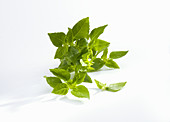 Fresh turkish bush basil on a white background