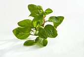 Flowering oregano in front of a white background