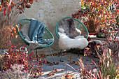Acapulco-Sessel mit Fell und Decke auf Herbst-Terrasse zwischen Gehölzen mit Herbstfärbung und Gräsern