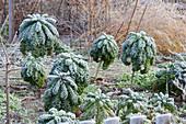 Rauhreif auf Grünkohl 'Lerchenzungen' im Gemüsegarten