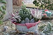 Jardiniere mit Zuckerhutfichte, Knospenheide und Zapfen auf Kiesterrasse