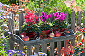 Gartenzaun herbstlich dekoriert mit Alpenveilchen im Blätterkleid und Äpfeln