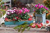 Alpenveilchen und Fetthenne mit frisch gepflückten Äpfeln als Herbstdekoration