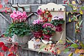 Alpenveilchen als Wanddekoration aufgehängt, Töpfe mit Herbstlaub verkleidet, Kränzchen aus Zierapfel