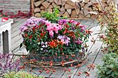 Zinkwanne mit Alpenveilchen, Chili, Herbstchrysanthemen und Johanniskraut, Clematisranken und Zweig mit Hagebutten