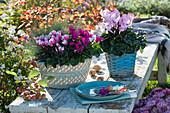 Alpenveilchen und Blauschwingel in Körben auf Bank im Garten