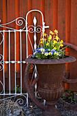 Hornveilchen und Narzissen 'Tete a Tete' in rostiger Blumenspindel