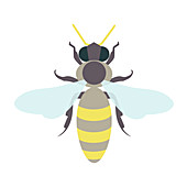 Honey bee, illustration