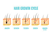 Hair growth phases, illustration