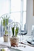 Milchstern im Terracottatopf unter einer Glasglocke als Tischdeko