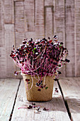 Fresh radish sprouts in a growing pot
