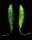 Two butter gourds against a black background