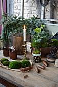 Tisch mit Christrosen, Kerze, Moos und Zapfen