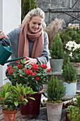 Topf-Arrangement mit immergrünen Pflanzen, Frau gießt Skimmie