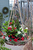 Hängende Deko mit Frucht-Skimmie, Christrose und Zuckerhutfichte in Kranz aus Ranken, dekoriert mit Sternen und Zapfen