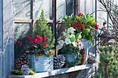 Zinktöpfe mit Alpenveilchen, Zuckerhutfichte, Christrose und Skimmie am Fenster vom Schuppen