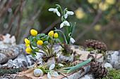 Schneeglöckchen und Winterling in leere Schneckenhäuser gepflanzt
