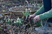 Schneeglöckchen für Dekozwecke im Garten ausgraben