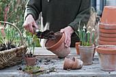 Schneeglöckchen in Tontöpfe pflanzen