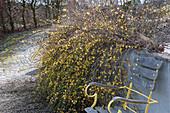 Winterjasmin überwächst eine Gartenmauer