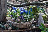 Korb mit Krokus 'Tricolor', Netziris, Milchstern und Traubenhyazinthen 'Blue Pearl' im Garten, Osterhase und Ostereier