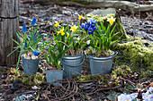 Zinktöpfe mit Narzissen 'Tete a Tete', Traubenhyazinthen 'Blue Pearl', Netziris und Milchstern auf Moos im Garten
