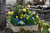 Holzkasten mit Narzissen 'Tete a Tete', Traubenhyazinthen 'Blue Pearl', Milchstern und Zuckerhutfichten im Garten
