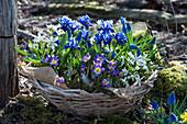 Korb mit Krokus 'Tricolor', Netziris, Milchstern und Traubenhyazinthen 'Blue Pearl' im Garten