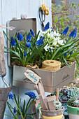 Blechdose zweckentfremdet als Pflanzkasten mit Traubenhyazinthen 'Blue Pearl' und Milchstern
