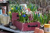 Schubladen bepflanzt mit Traubenhyazinthen, Narzissen 'Tete a Tete' und Milchstern, Schneckenhäuser und Moos als Deko