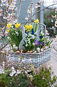 Korb mit Narzissen 'Tete a Tete', Milchstern, Krokus 'Tricolor' und Traubenhyazinthen an Zierkirsche gehängt, dekoriert mit Osterhasen, Eierschalen und Steckzwiebeln