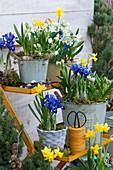 Töpfe mit Netziris, Milchstern und Narzissen 'Tete a Tete'\nauf Blumentreppe