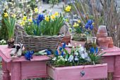 Tisch mit bepflanzter Schublade und Korb : Traubenhyazinthen, Narzissen 'Tete a Tete', Milchstern, Netziris und Hornveilchen
