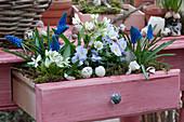 Bepflanzte Schublade mit Traubenhyazinthen, Milchstern und Hornveilchen, Eierschalen als Deko