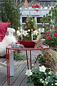Bepflanzte Schale mit Christrose und Zuckerhutfichte als Adventskranz geschmückt mit 4 Kerzen und Sternen