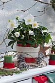 Christrose mit weißer Filz-Manschette im roten Topf auf Holzscheibe, Kerzen und Zapfen als Deko