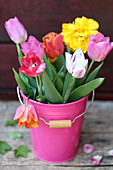 Multi-coloured tulips in a pink bucket
