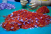 Hand sorting red saffron stigmas from yellow stamens and purple petals