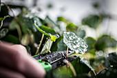Kapuzinerkresse wird mit Gartenschere geschnitten