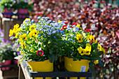 Bunte Frühlingsblumen: Hornveilchen, Vergißmeinnicht und Tausendschön
