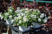Frühling in weiß: Hornveilchen, Tausendschön und Vergißmeinnicht