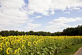 Sonnenblumenfeld, Saarland, Deutschland