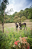 Two donkeys along a vineyard hiking route (tri-border area)