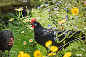 Young hens in a field of flowers