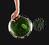 A hand spoons peas out of a metal colander
