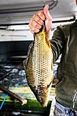 A scale carp