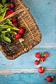 Freshly picked radishes in a wicker basket and on a blue wooden background