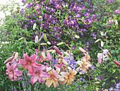 Lilien blühen vor Clematis 'Etoile Violette'
