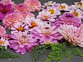 Blüten von rosafarbenen Dahlien und Blätter vom Frauenhaarfarn